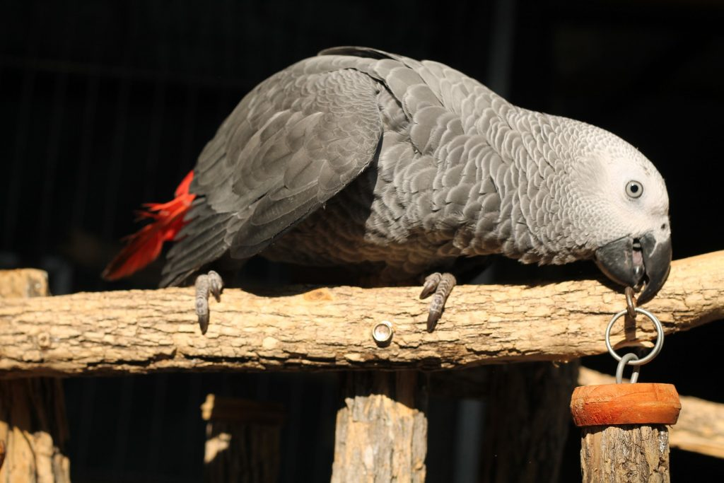 African grey parrot living in captivity