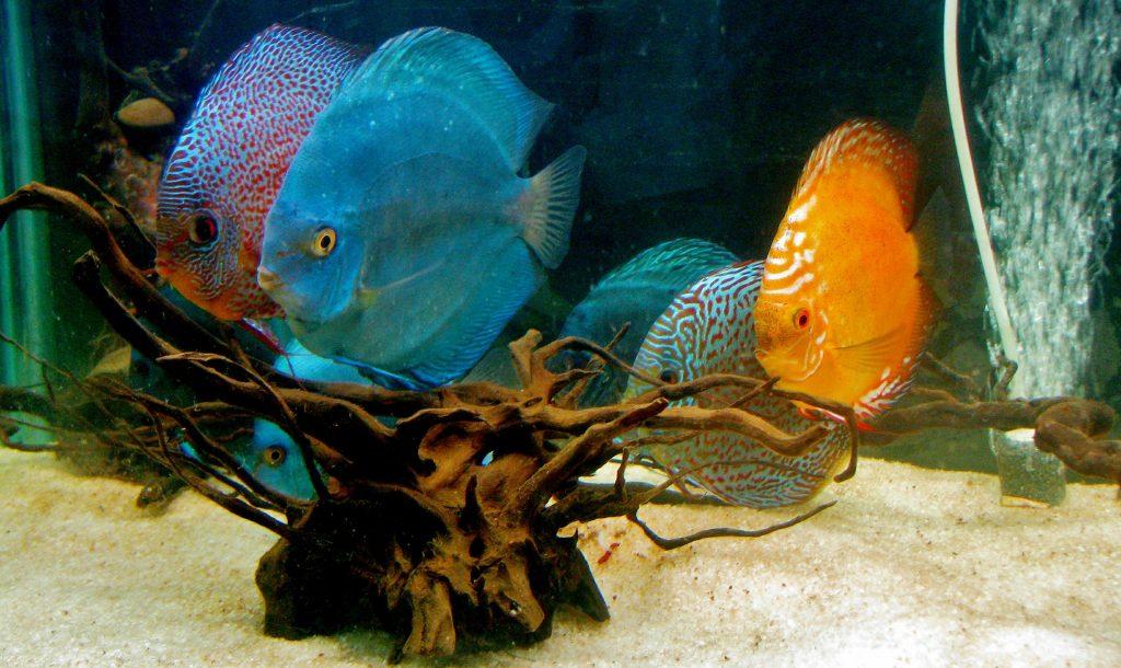 tropical fish in an indoor aquarium