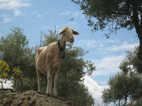 Kirsty, leader of the Manchego flock of sheep in Spain