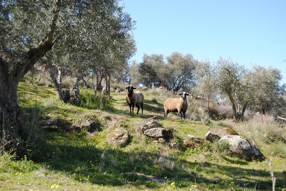 Sheep among olive trees in Spain