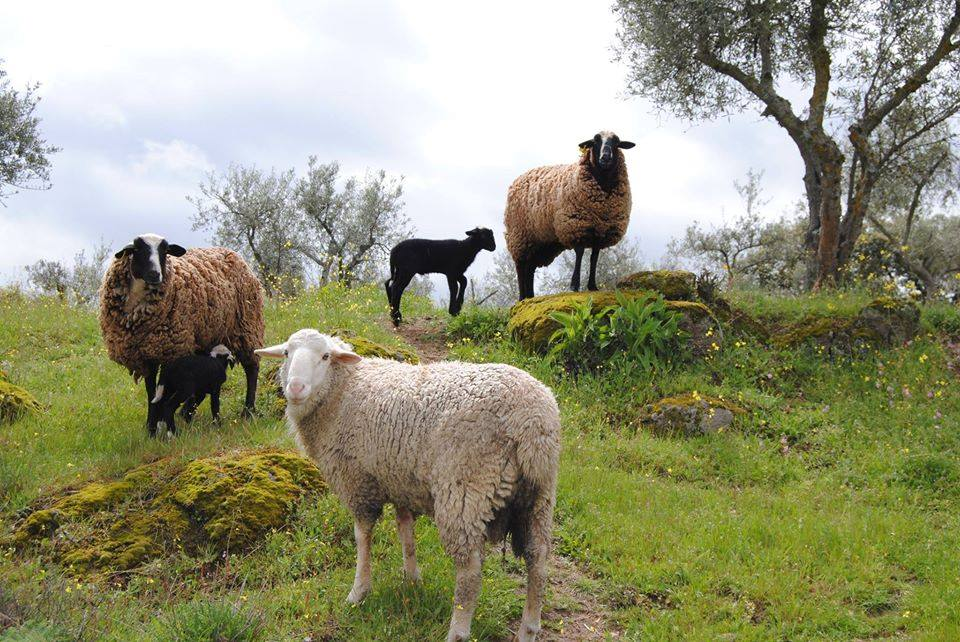 Family of sheep with lambs in Spain